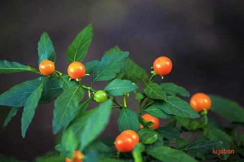 Little fruits3 by lujaban
