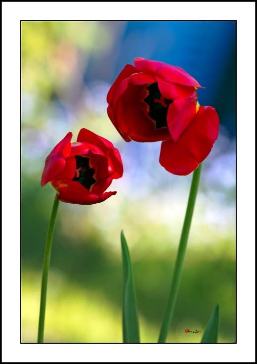 008 Tulip