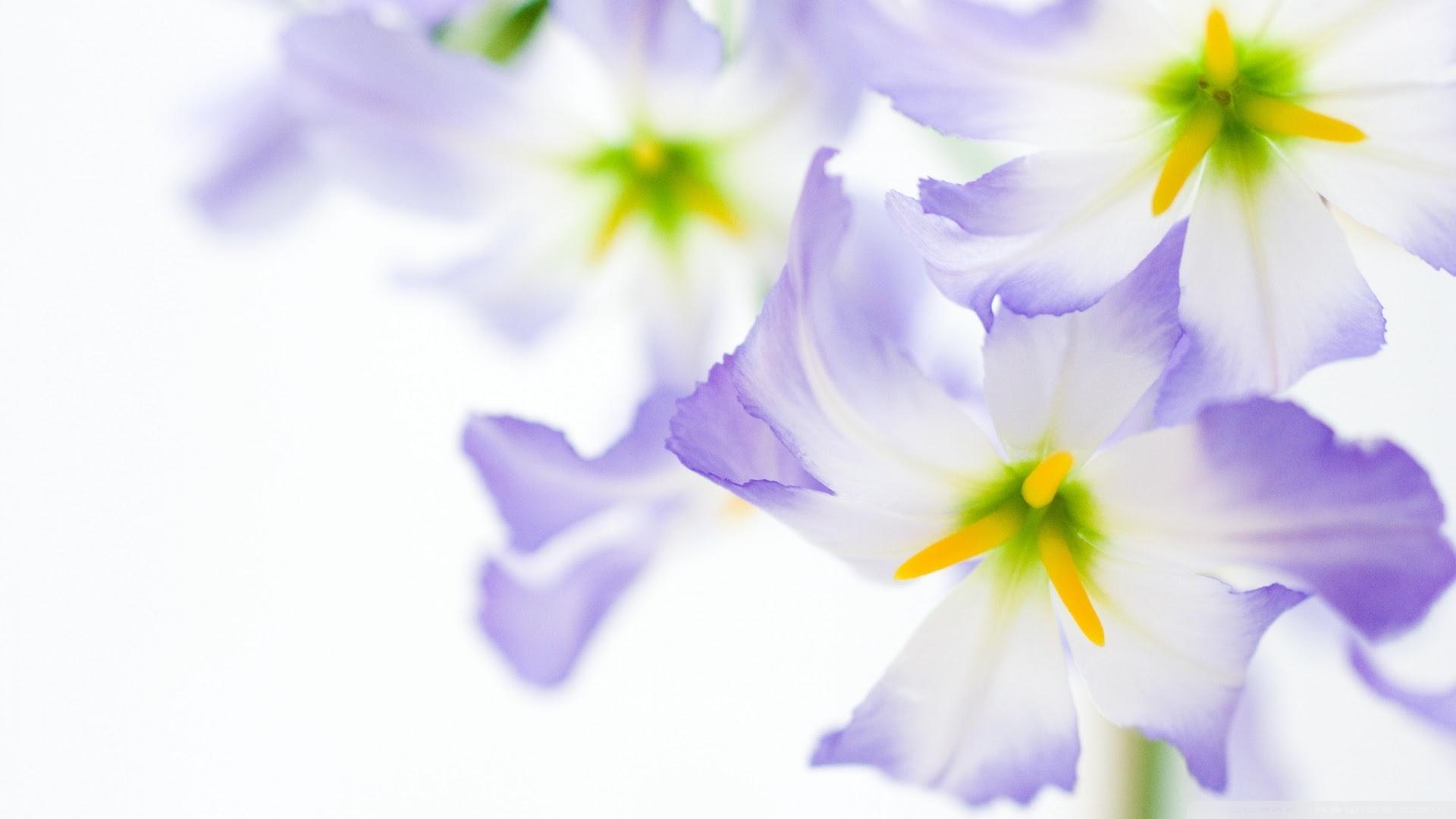Flowers On White Background Ultra Hd Desktop Background Wallpaper