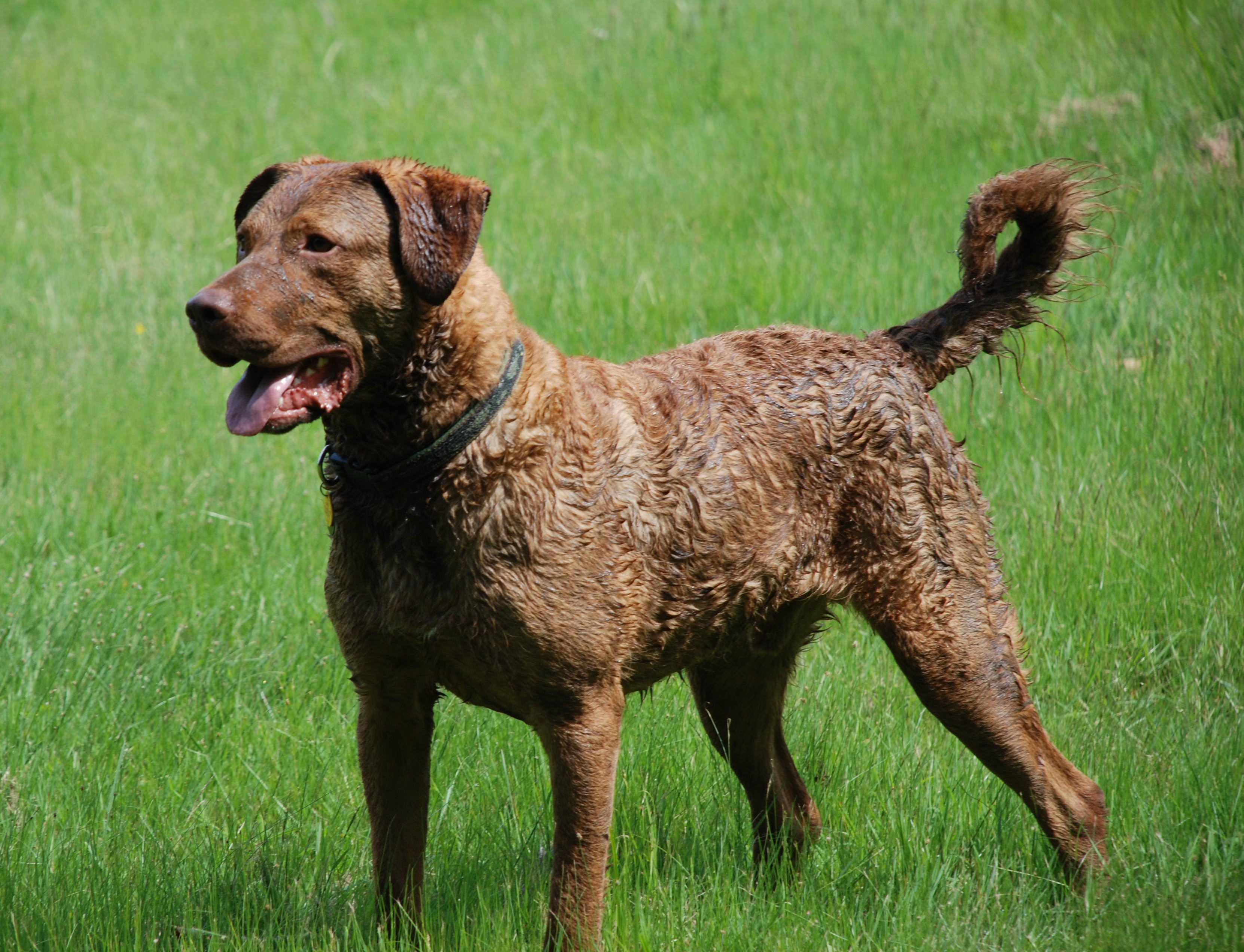Chesapeake Bay Retriever Popular Gundog
