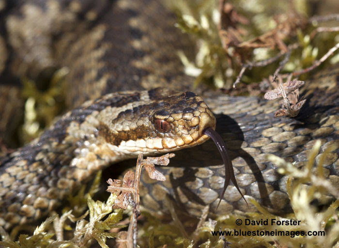 06D-6159a Adder Vipera berus Sensing with Tongue