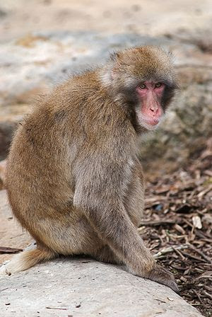 English: Japanese Macaque in captivity, Launce...