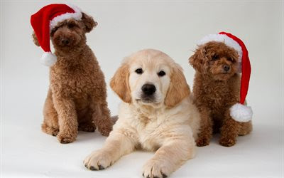 Download wallpapers Christmas, New Year, dogs, Poodle, Golden Retriever, puppies, year dog concepts for desktop free. Pictures for desktop free
