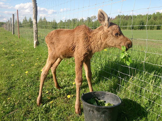 Rescued Moose Comes Back Every Day To Visit The Guy Who Saved Her