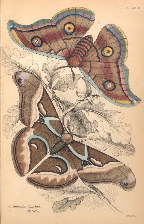 1. Saturnia Cynthia; 2. Saturnia Mylitta.  (1843)