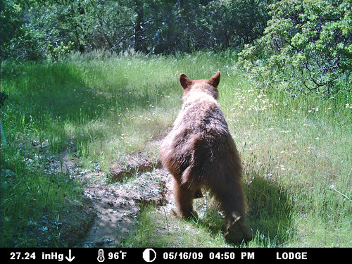 cinnamon bear butt