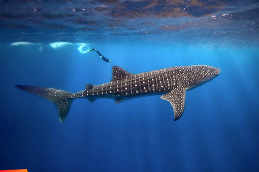Scuba Dive & Snorkel with Whale Sharks in Belize