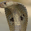 Cobra effect - Wikipedia, the free encyclopedia