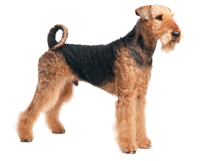 Airedale Terrier : tout sur cette race de chien