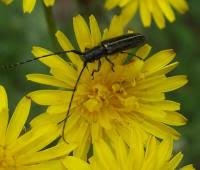Photo haute résolution d'insecte : longicorne