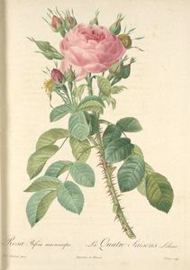 Rosa Bifera Macrocarpa; Rosier... Digital ID: 1208804. New York Public Library
