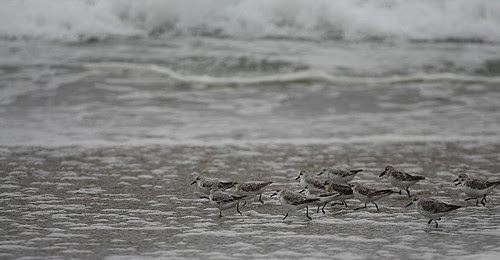 March of the Plovers