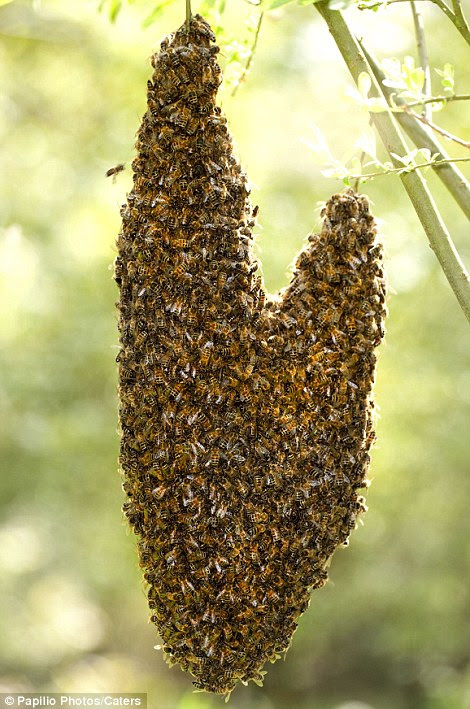 Honey Bees hanging from a tree branch creating a heart