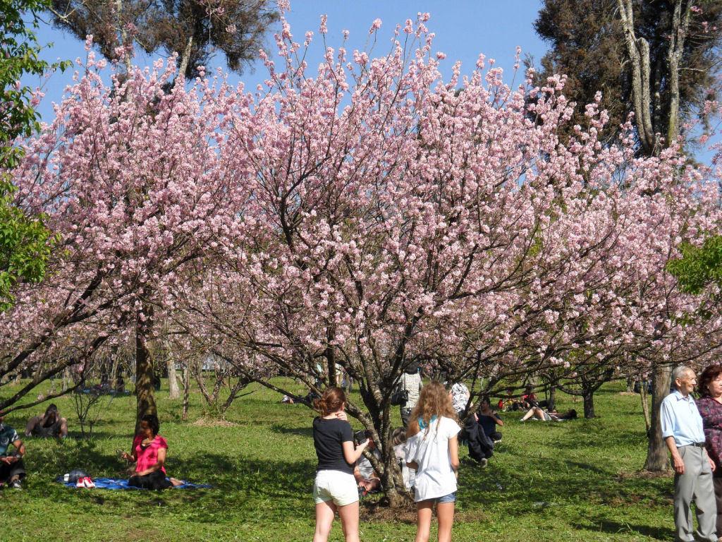 As floradas de cerejeiras mais bonitas em todo o mundo 14