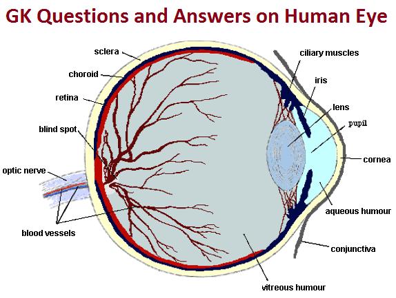 Eye And Ear Diagram Quiz - Human Anatomy