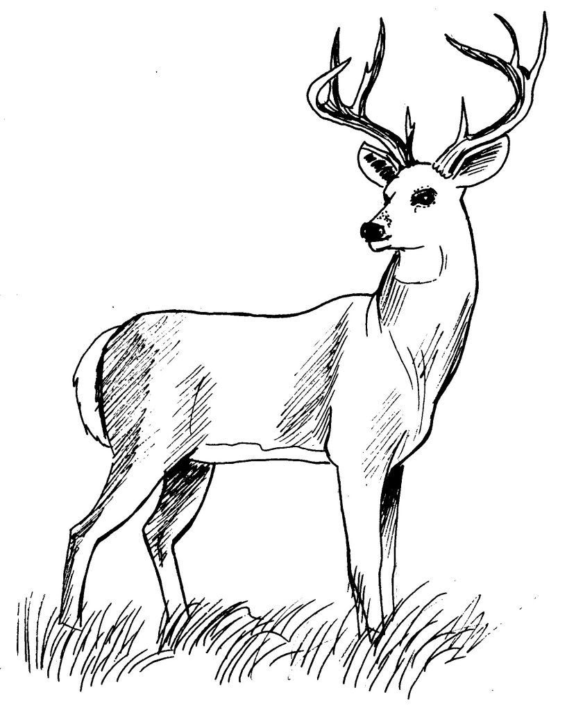 Dessin coloriage animal cerf dix cors