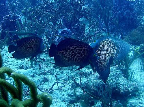 French Angelfish (Three)