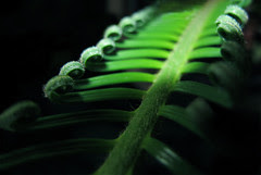 Green Bridge (Batikart) Tags: light sun sunlight white plant black fern color colour macro green art texture nature leaves lines closeup canon germany geotagged deutschland licht leaf europa europe dof background curves natur pflanze fraktal line diagonal growth fractal growing grn curve makro blatt effect sonne bltter weiss schwarz farn fibers 2012 effekt treefern g11 fibres fellbach unfurl badenwrttemberg linien kurven baumfarn fasern 100faves viewonblack cyatheales batikart plantfibers canonpowershotg11 plantfibres planzenfasern