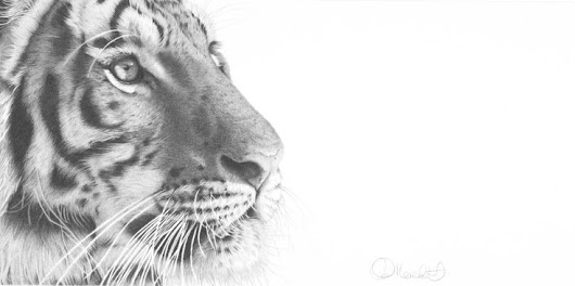 Tiger stare, Pencil drawing by clive meredith | Artfinder