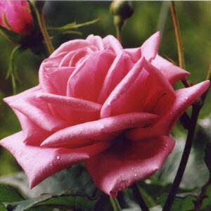 http://www.netstate.com/states/symb/flowers/images/rose.jpg