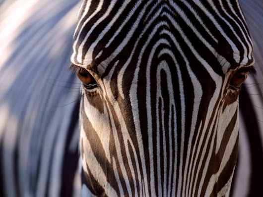Study: Zebra stripes help shoo flies