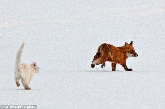 And don't come back: The much larger animal beats a hasty retreat as Simona chases it across the snow