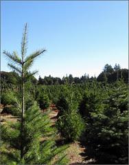 Crest Ranch Christmas Tree Farm