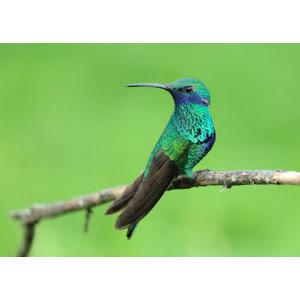 フリー写真, 動物, 鳥類, 鳥(トリ), ハチドリ, ミドリハチドリ