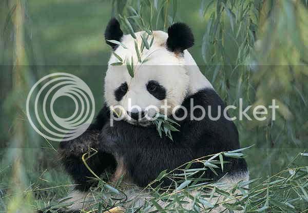 photo panda.jpg