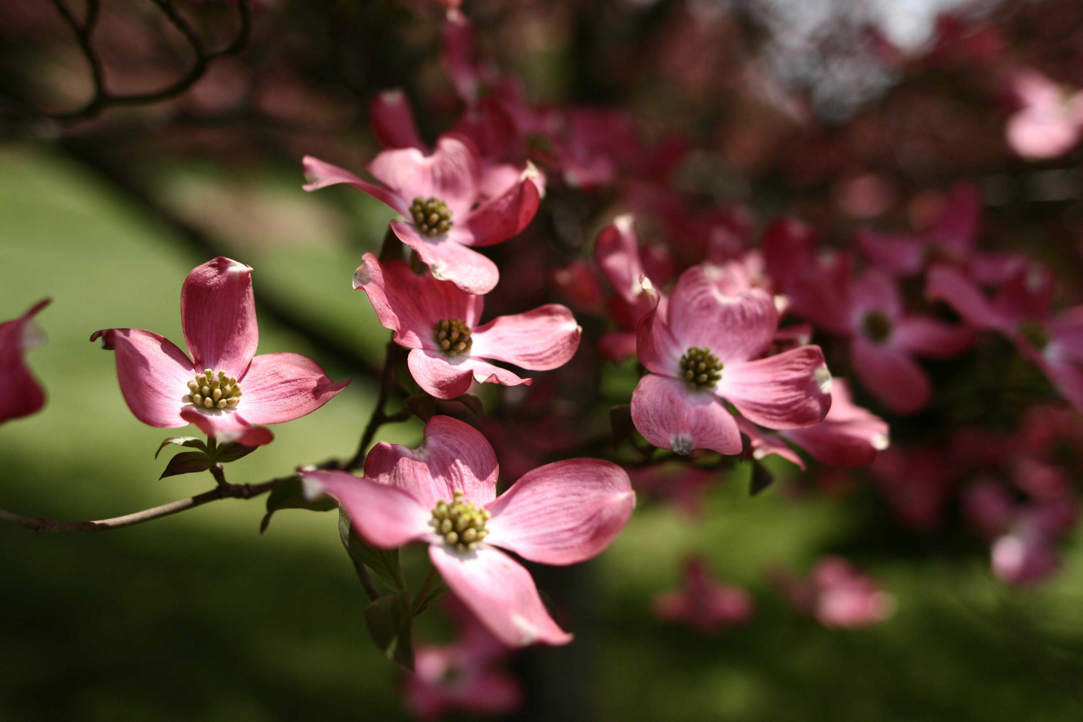 http://upload.wikimedia.org/wikipedia/commons/d/dd/Dogwood-tree-flowers_-_West_Virginia_-_ForestWander.jpg