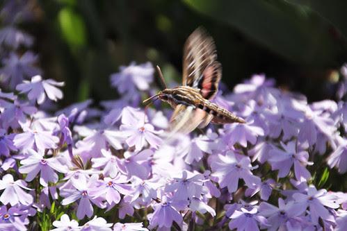 hummingbird moth 1