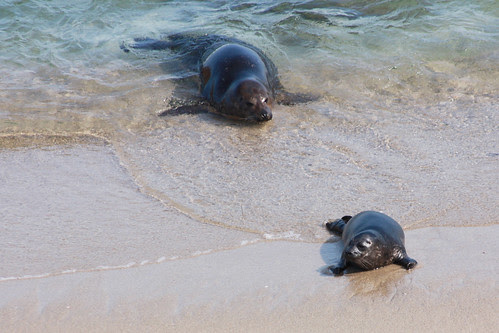 mommy and pup seal at la jolla cove