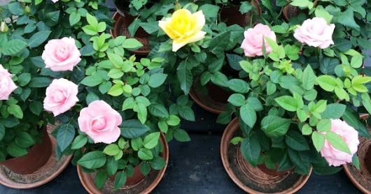 Last chance to Win set of 5 enchanting rose plants with pot Free.