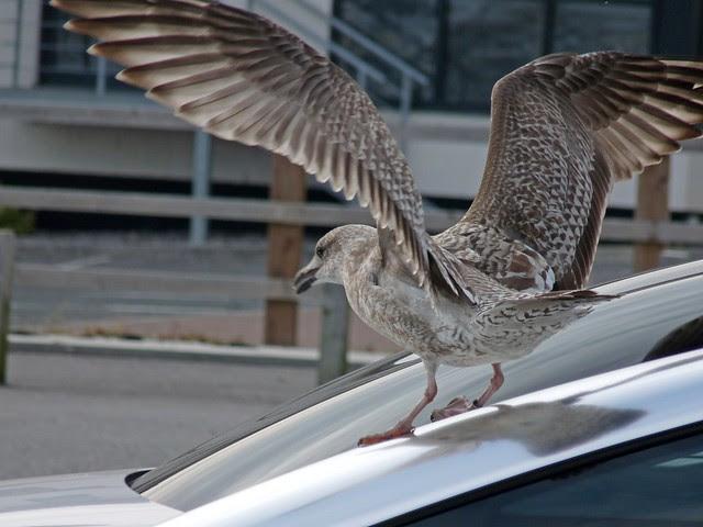 25117 - Herring Gull, Swansea