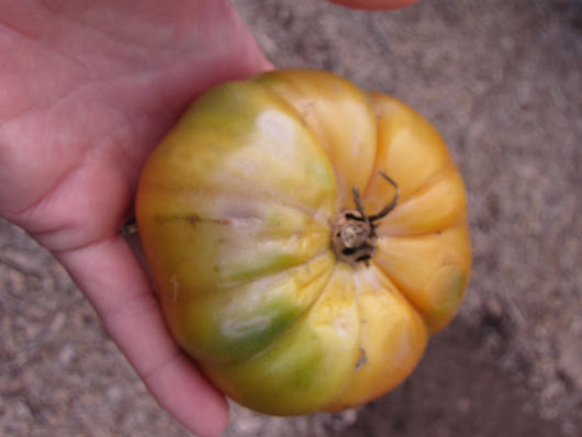 Ask Gardenerd: Tomatoes with Heat Damage - Gardenerd