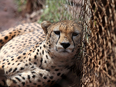 Cheetah's have been declared extinct in India since . Reuters