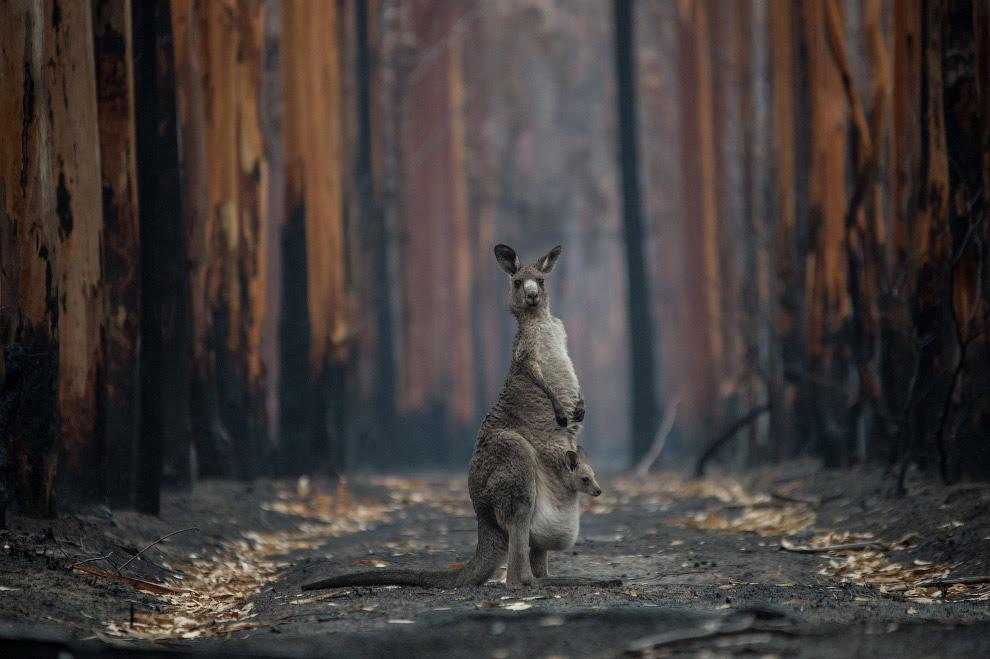 Кенгуру и обгоревшие деревья в лесу к юго-западу от Аделаиды