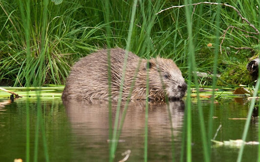 Beavers are back in Italy after an absence of nearly 500 years as big mammals rebound in Europe