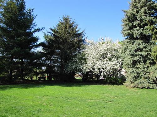 IMG_4670_Crab_Apple_Tree_in_Full_Bloom
