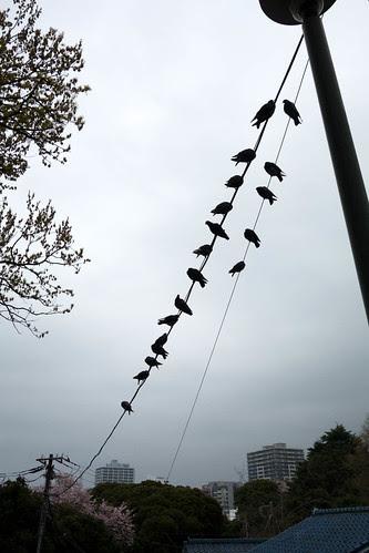 Yokohama birdies