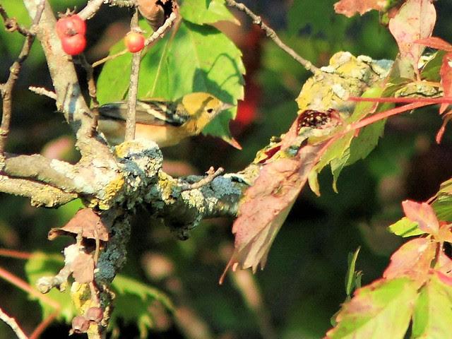 Bay-breasted Warbler 20130910