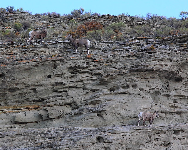 IMG_0010 Bighorn Sheep near North Entrance