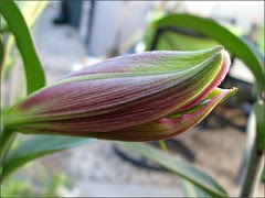 Asiatic Lily bud