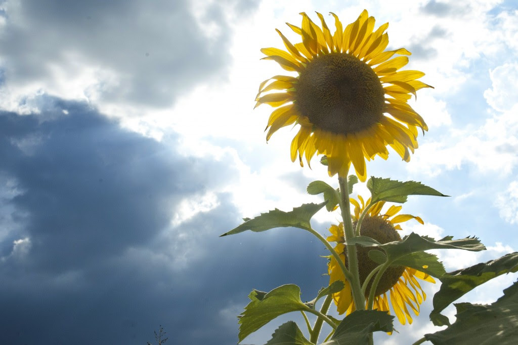 Sunflower in bloom silhouetted by afternoon sun