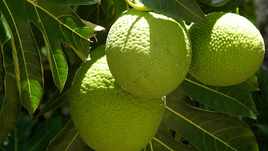 Productive, Protein-Rich Breadfruit Could Help The World's Hungry Tropics