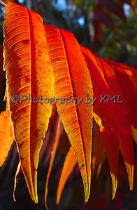 red sumac leaves in the autumn