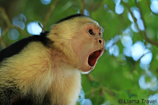 The Many Faces of Costa Rica's Monkeys, in Photos.