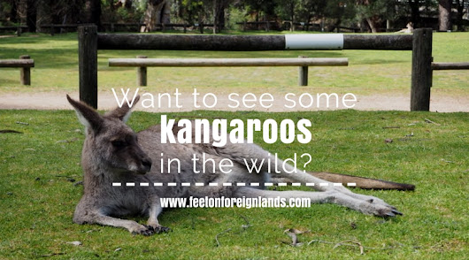 Where can I see kangaroos in Melbourne? - Feet on Foreign Lands