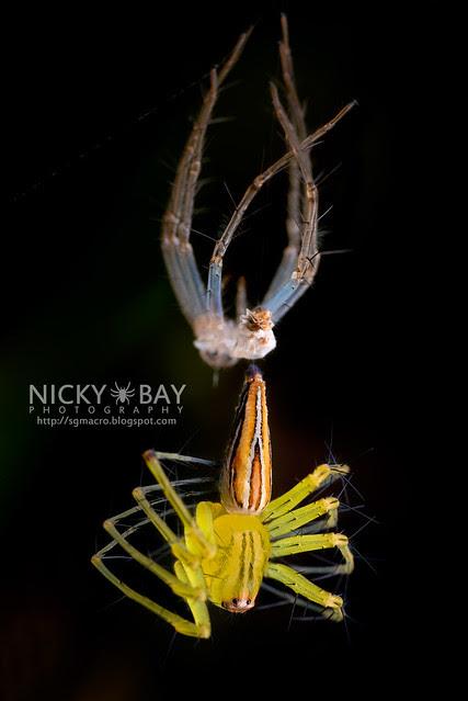 Lynx Spider (Oxyopidae) - DSC_9317