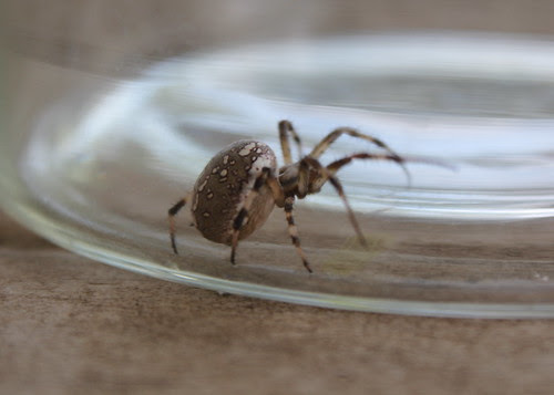 I thought it was a Brown Widow at first, gutted it wasn't
